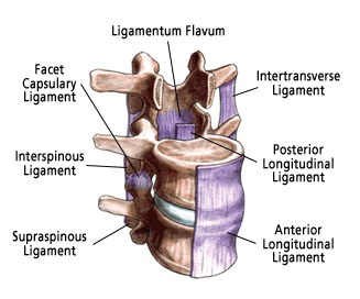Spinal Ligaments